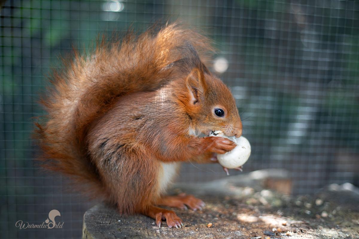 Fressen Eichhörnchen Vogeleier